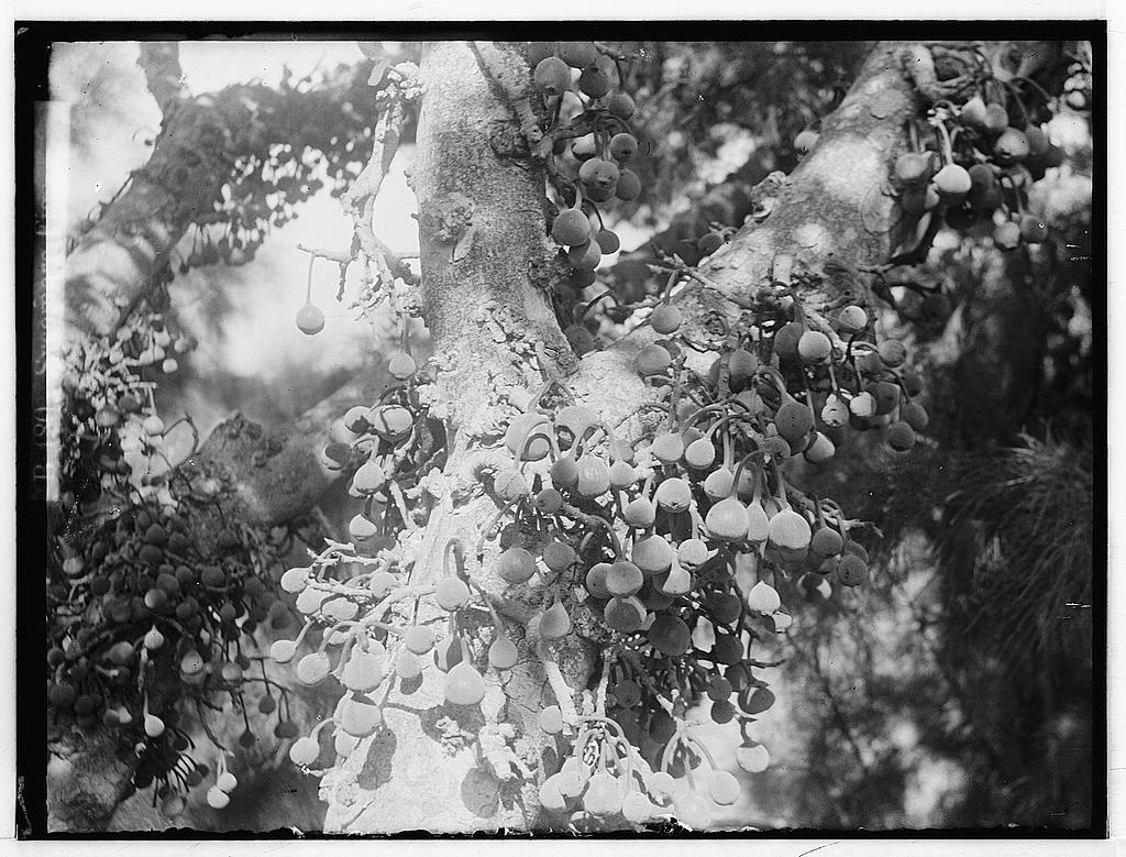 Sycamore Figs